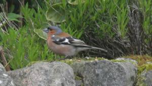 Chaffinch In The Garden