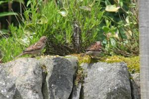 House Sparrows