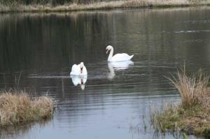 Swans on Black Loch