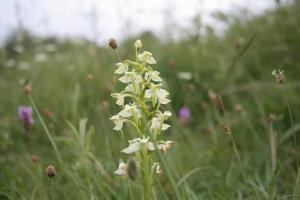 Greater Butterfly Orchid (rare)