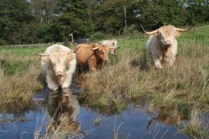 Highlanders Keeping Cool